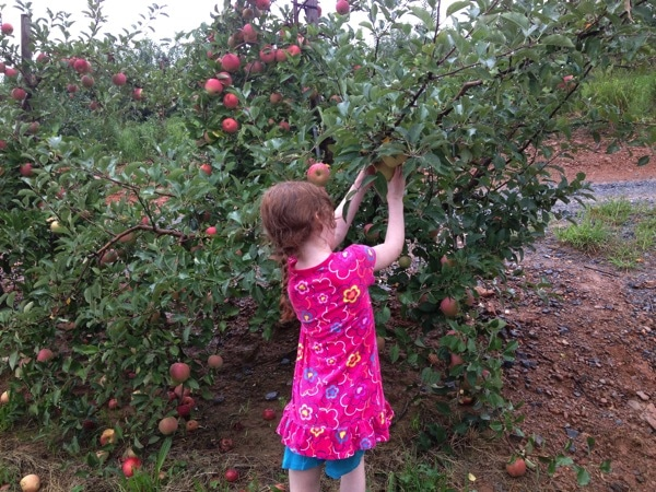 Apple Picking in Ellijay