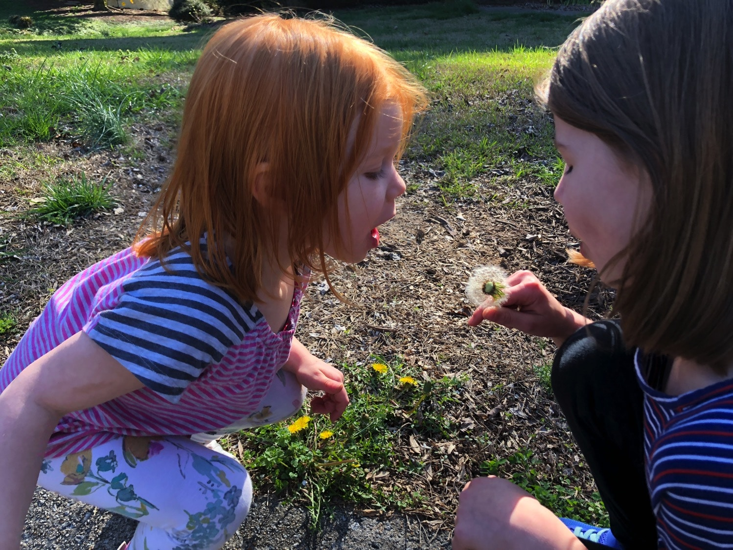 blowing dandelions